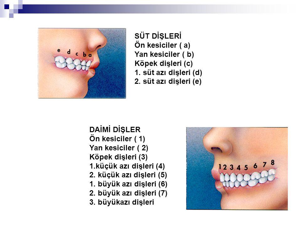 SÜT DİŞLERİ Ön kesiciler ( a) Yan kesiciler ( b) Köpek dişleri (c) 1. süt azı dişleri (d) 2. süt azı dişleri (e)