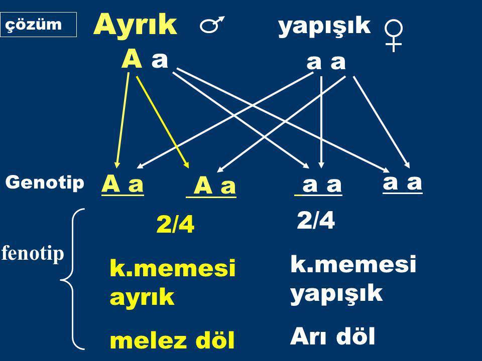 Ayrık A a 2/4 2/4 yapışık a a A a A a a a a a k.memesi yapışık Arı döl
