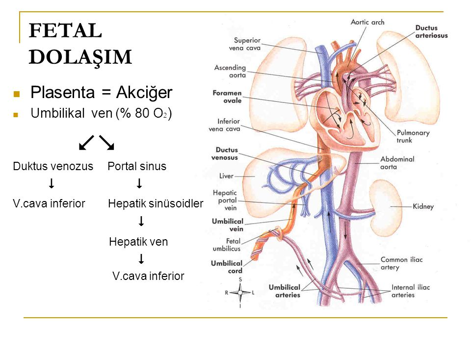 FETAL DOLAŞIM Plasenta = Akciğer  Hepatik ven