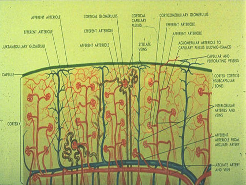 Burada da böbrek korteksindeki vasküler yapılanma, glomerüler yapılar şematize edilmekte, organın vaskülarite zenginliği vurgulanmaktadır.