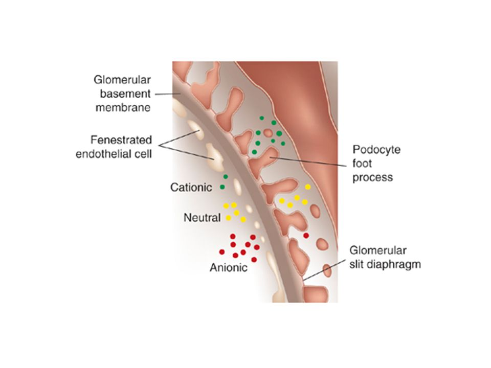Figure 1 | The glomerular filtration barrier and the concept of charge selectivity. The threelayered barrier consists of the fenestrated endothelium, podocyte foot processes with bridging slit diaphragms, and the intervening glomerular basement membrane. Negative charge is associated