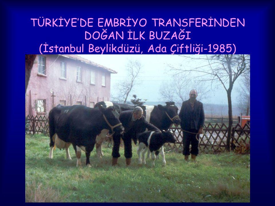 TÜRKİYE'DE EMBRİYO TRANSFERİNDEN DOĞAN İLK BUZAĞI (İstanbul Beylikdüzü, Ada Çiftliği-1985)
