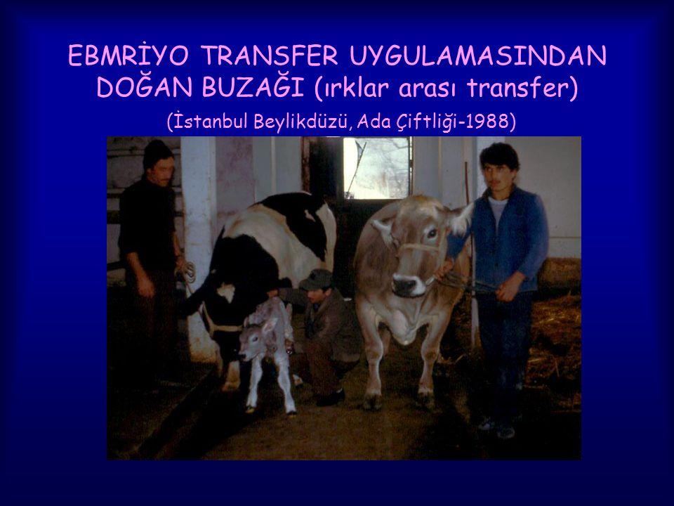 EBMRİYO TRANSFER UYGULAMASINDAN DOĞAN BUZAĞI (ırklar arası transfer) (İstanbul Beylikdüzü, Ada Çiftliği-1988)
