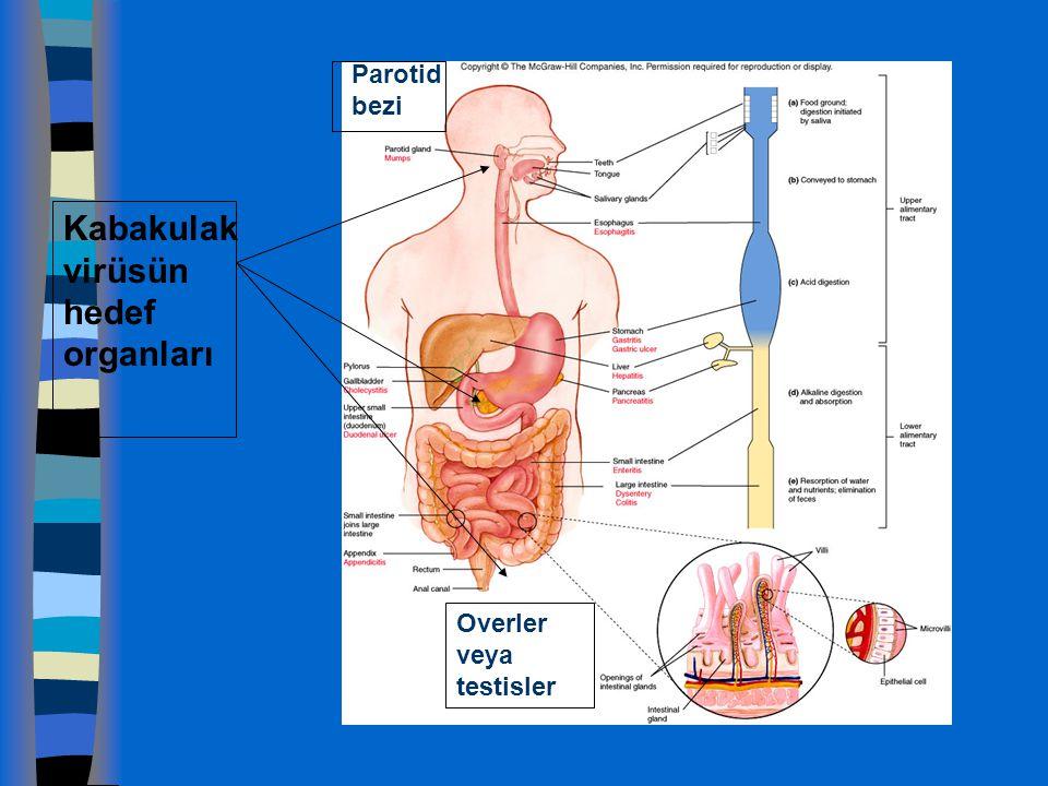 Kabakulak virüsün hedef organları