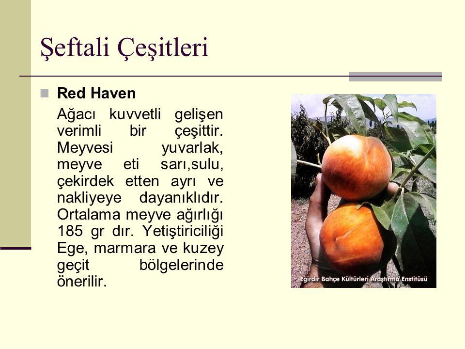 Şeftali Çeşitleri Red Haven