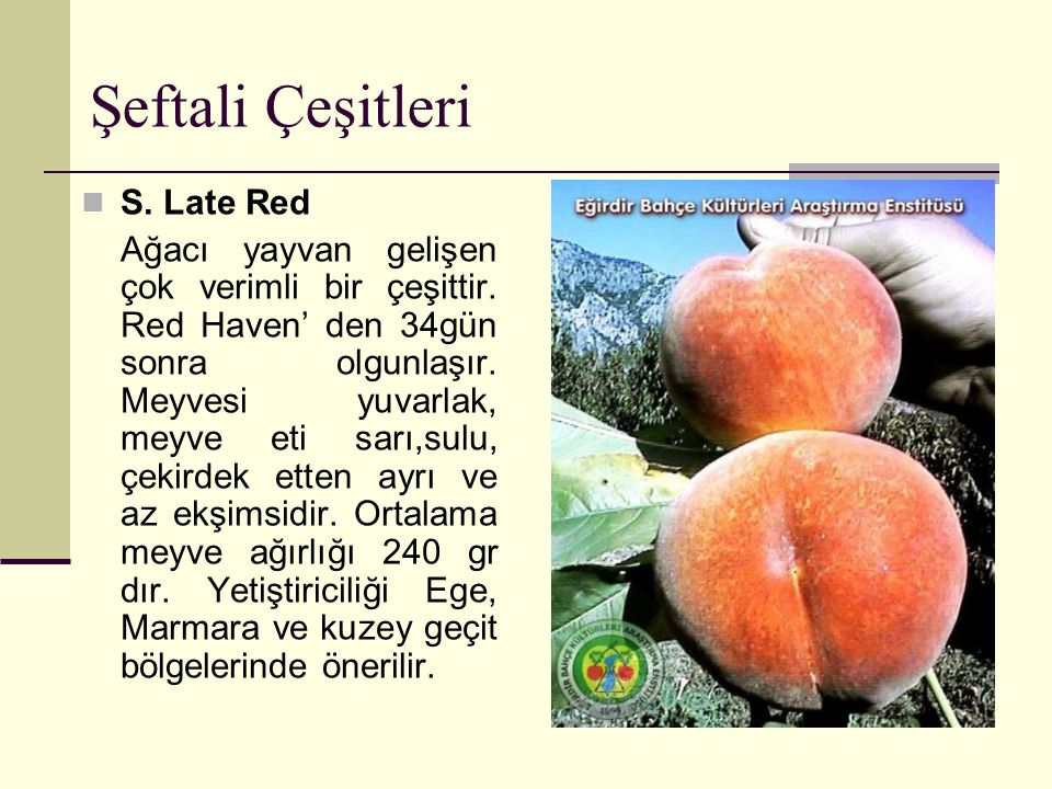 Şeftali Çeşitleri S. Late Red