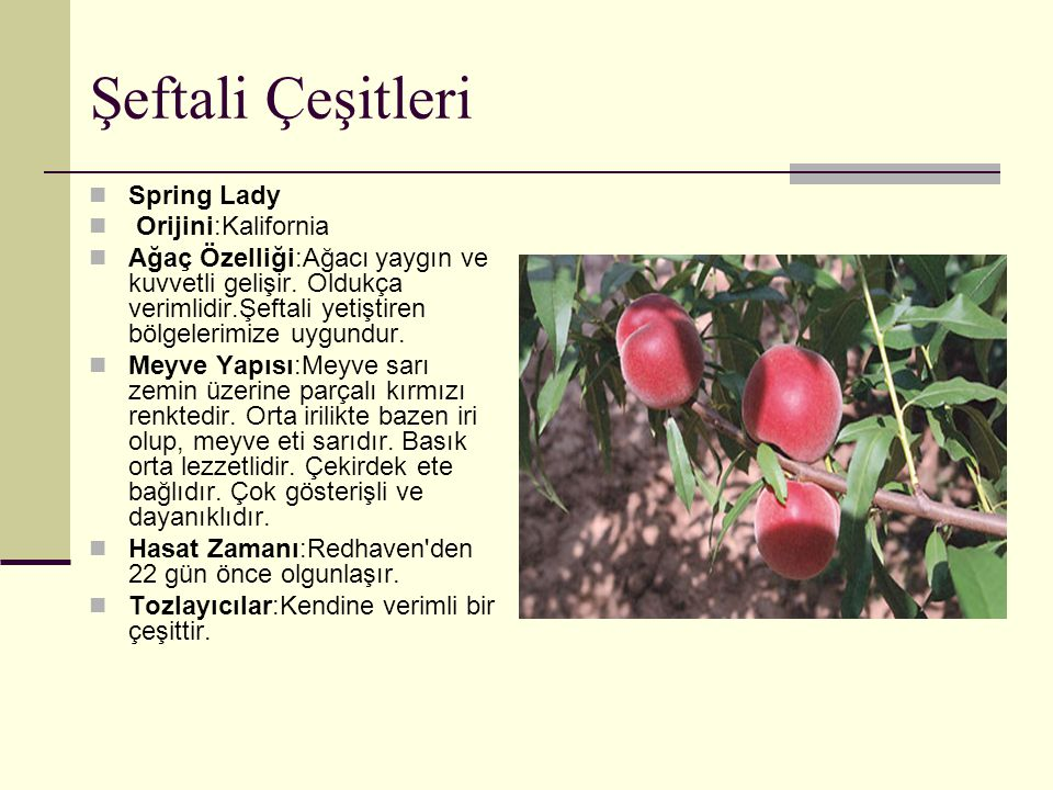 Şeftali Çeşitleri Spring Lady Orijini:Kalifornia