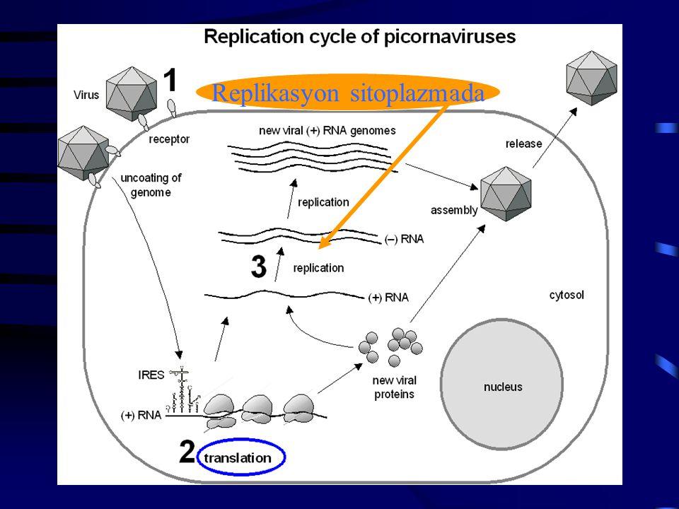 Replikasyon sitoplazmada