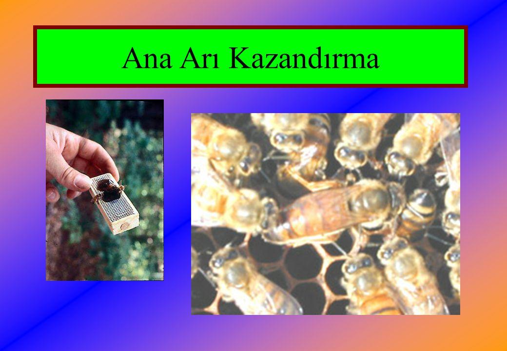 Ana Arı Kazandırma