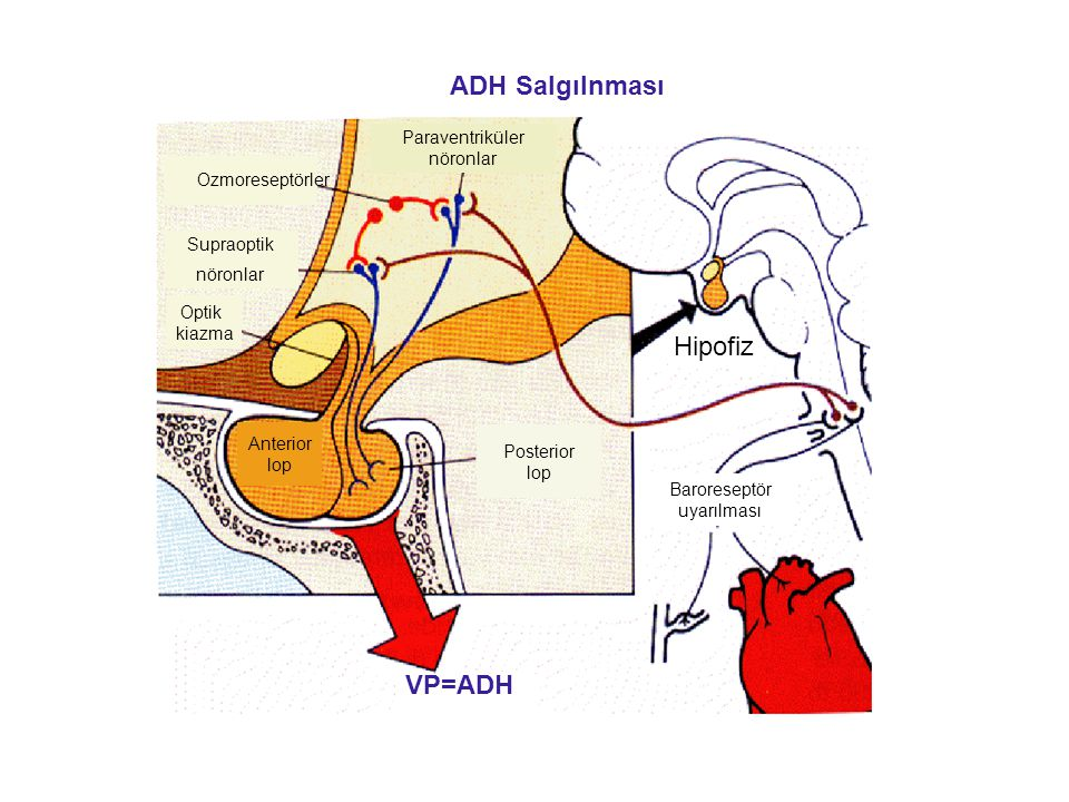ADH Salgılnması Hipofiz VP=ADH Paraventriküler nöronlar