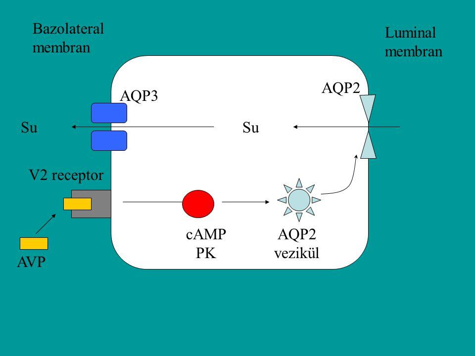 Bazolateral membran Luminal membran AQP2 AQP3 Su Su V2 receptor cAMP PK AQP2 vezikül AVP