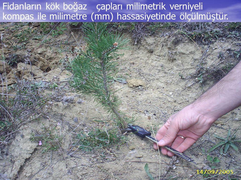 Fidanların kök boğaz çapları milimetrik verniyeli kompas ile milimetre (mm) hassasiyetinde ölçülmüştür.