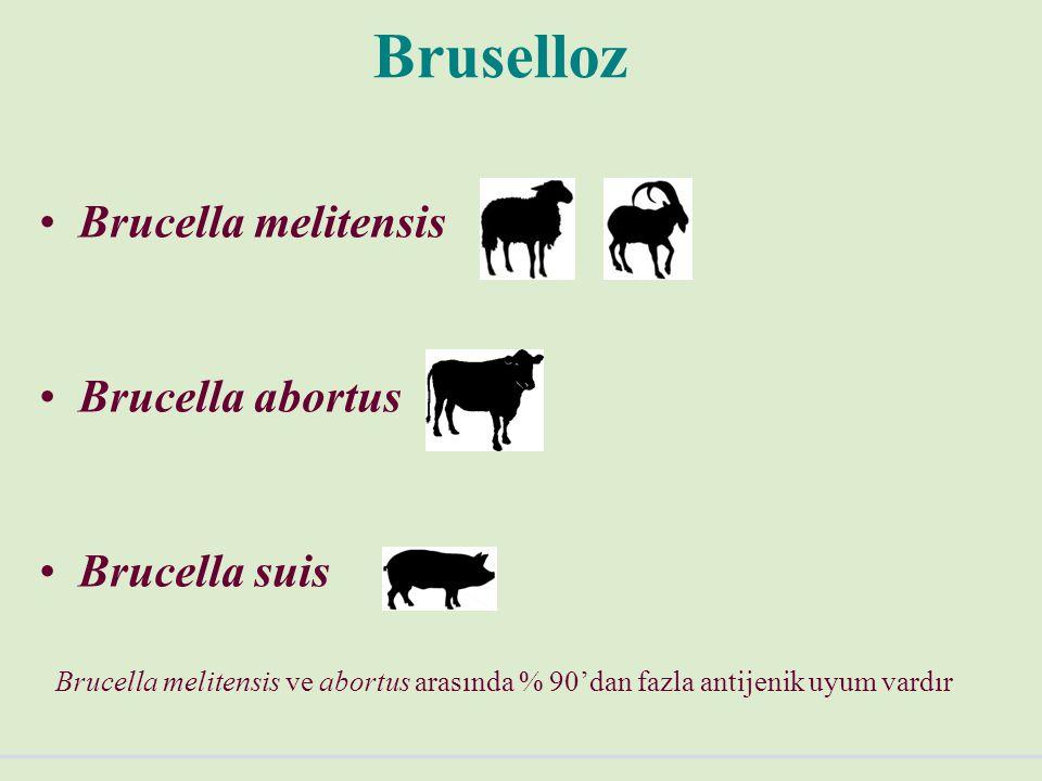 Bruselloz Brucella melitensis Brucella abortus Brucella suis