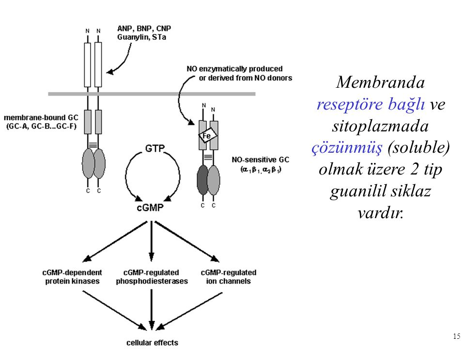 Membranda reseptöre bağlı ve sitoplazmada çözünmüş (soluble) olmak üzere 2 tip guanilil siklaz vardır.