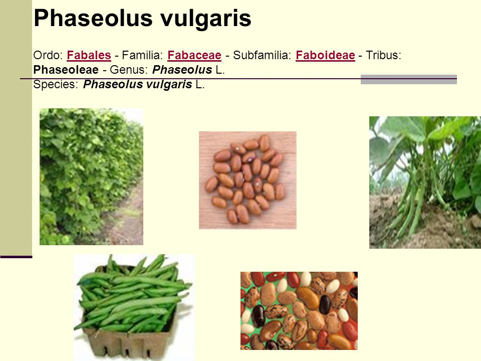 Phaseolus vulgaris Ordo: Fabales - Familia: Fabaceae - Subfamilia: Faboideae - Tribus: Phaseoleae - Genus: Phaseolus L.