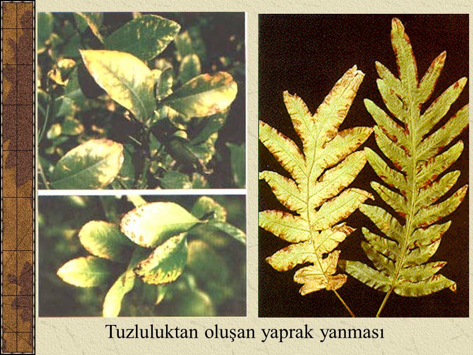 Tuzluluktan oluşan yaprak yanması