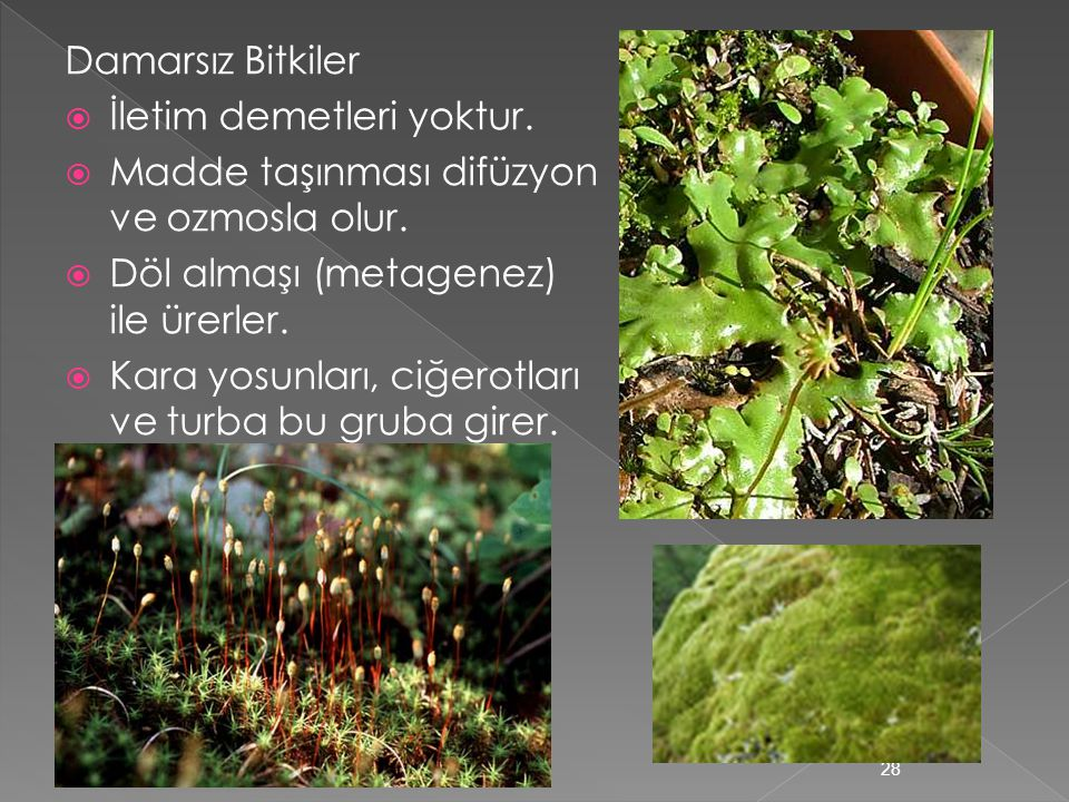 Damarsız Bitkiler İletim demetleri yoktur. Madde taşınması difüzyon ve ozmosla olur. Döl almaşı (metagenez) ile ürerler.