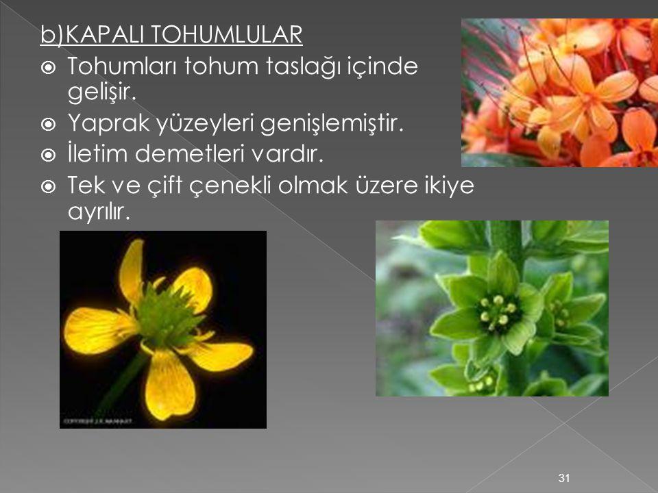 b)KAPALI TOHUMLULAR Tohumları tohum taslağı içinde gelişir. Yaprak yüzeyleri genişlemiştir. İletim demetleri vardır.