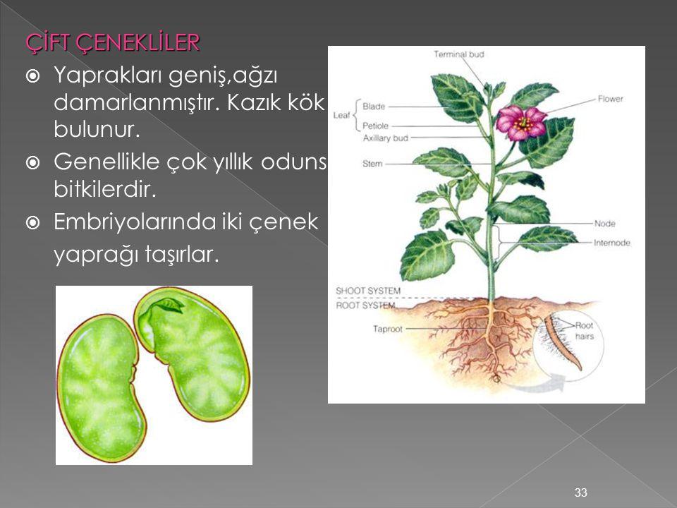 ÇİFT ÇENEKLİLER Yaprakları geniş,ağzı damarlanmıştır. Kazık kök bulunur. Genellikle çok yıllık odunsu bitkilerdir.