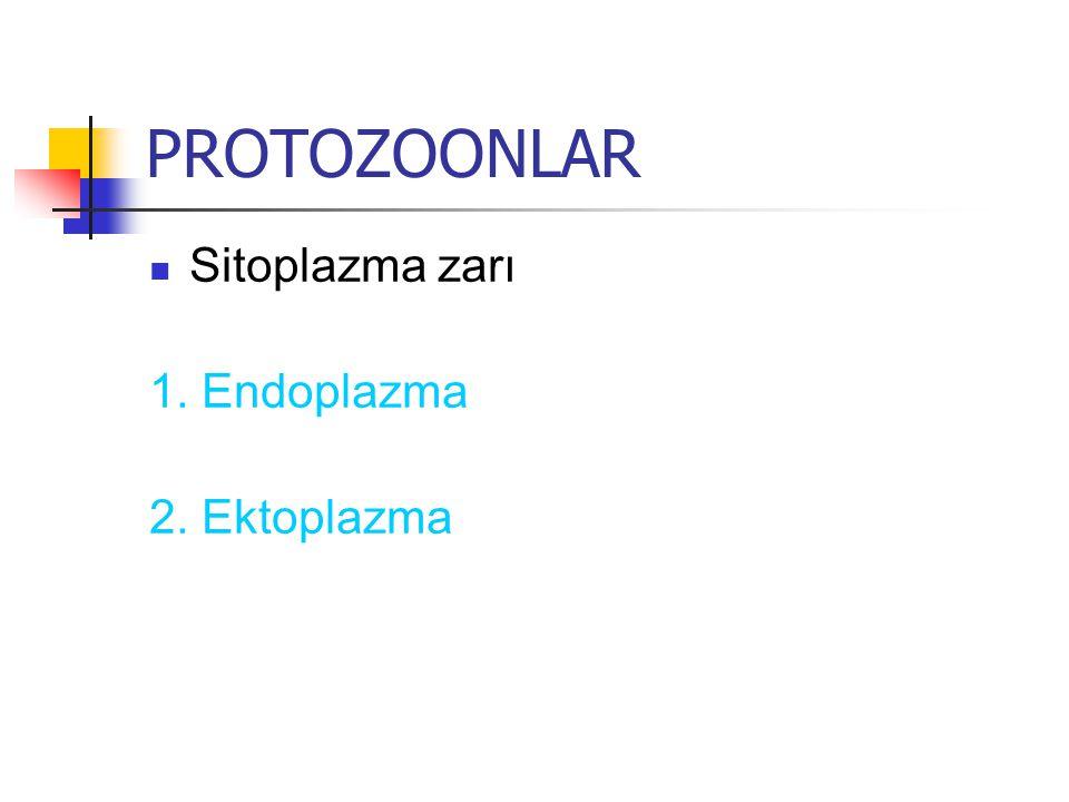 PROTOZOONLAR Sitoplazma zarı 1. Endoplazma 2. Ektoplazma