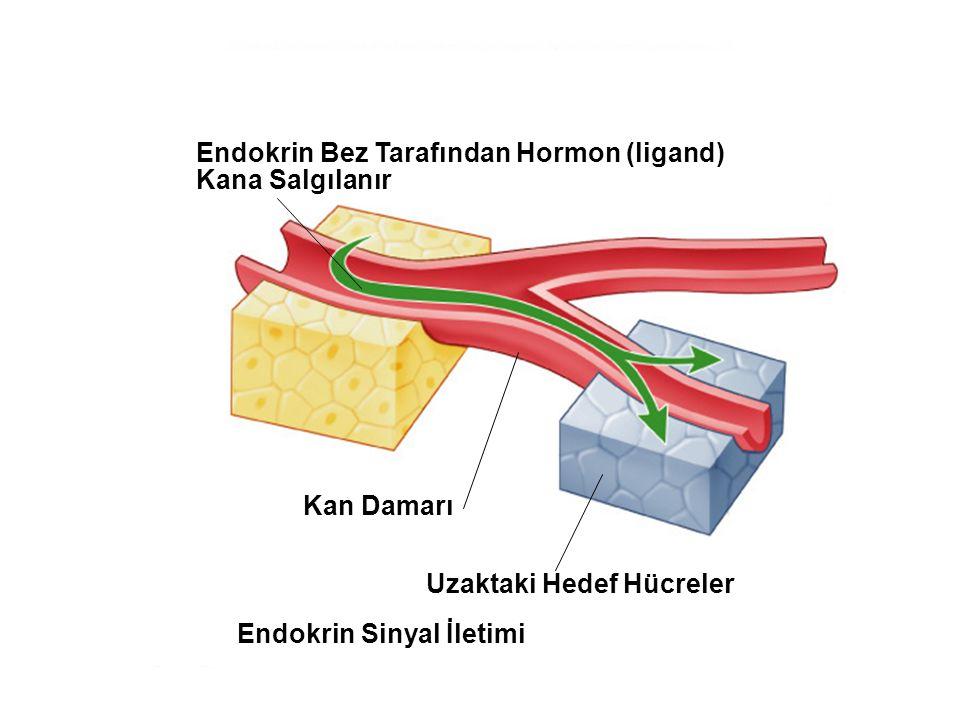 Uzaktaki Hedef Hücreler Endokrin Sinyal İletimi
