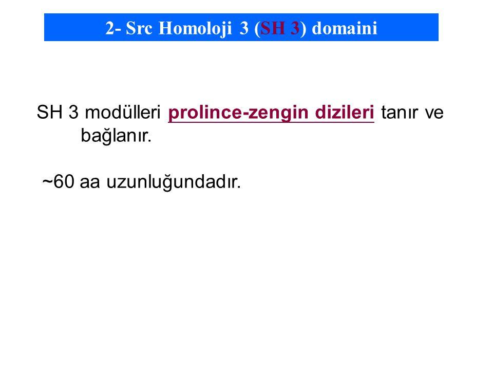 2- Src Homoloji 3 (SH 3) domaini