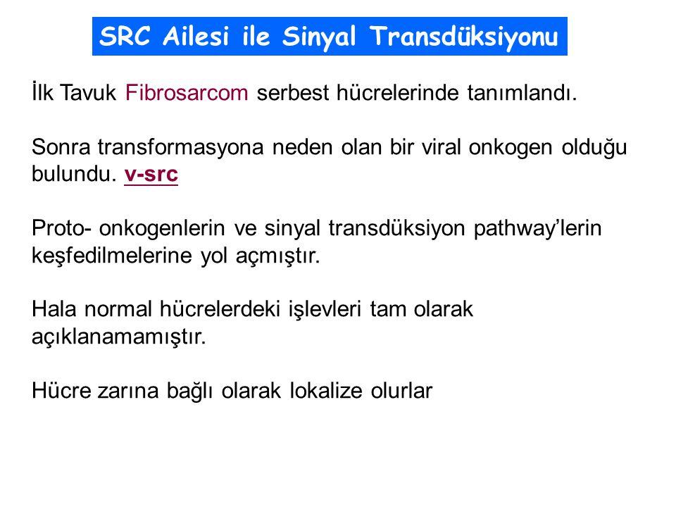 SRC Ailesi ile Sinyal Transdüksiyonu