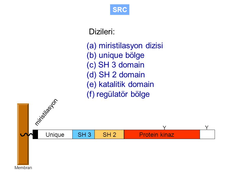 (a) miristilasyon dizisi (b) unique bölge (c) SH 3 domain