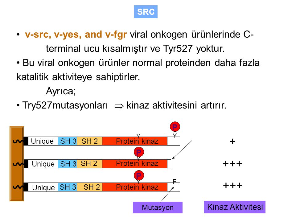 SRC • v-src, v-yes, and v-fgr viral onkogen ürünlerinde C- terminal ucu kısalmıştır ve Tyr527 yoktur.