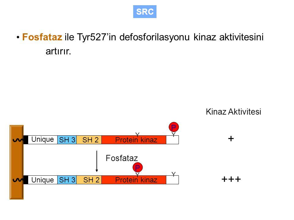 SRC • Fosfataz ile Tyr527'in defosforilasyonu kinaz aktivitesini artırır. Kinaz Aktivitesi. P. Y.