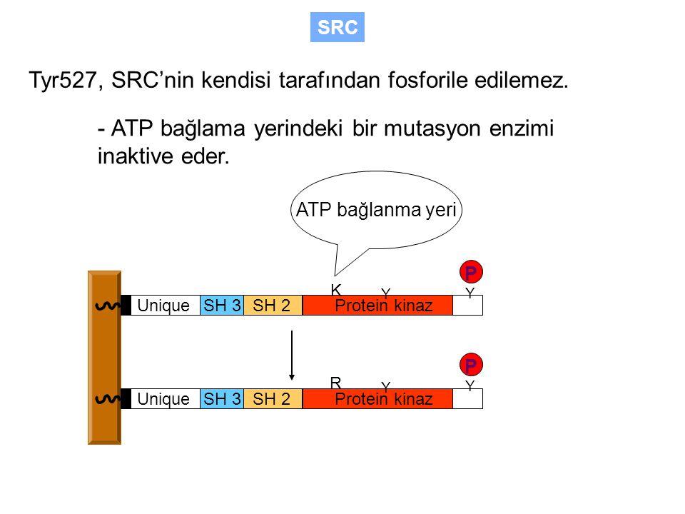 Tyr527, SRC'nin kendisi tarafından fosforile edilemez.