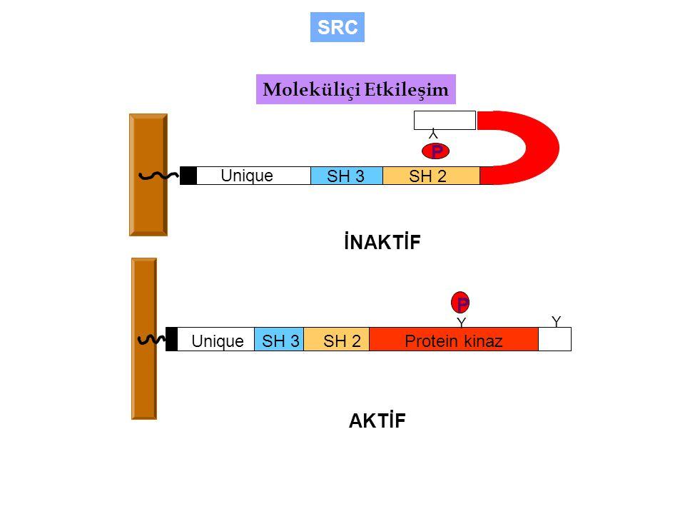 SRC Moleküliçi Etkileşim P İNAKTİF P AKTİF Unique SH 3 SH 2 Unique
