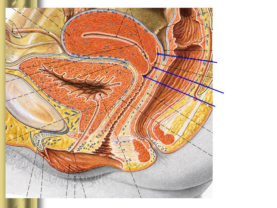 Fornix posterior Ostium uteri Fornix anterior