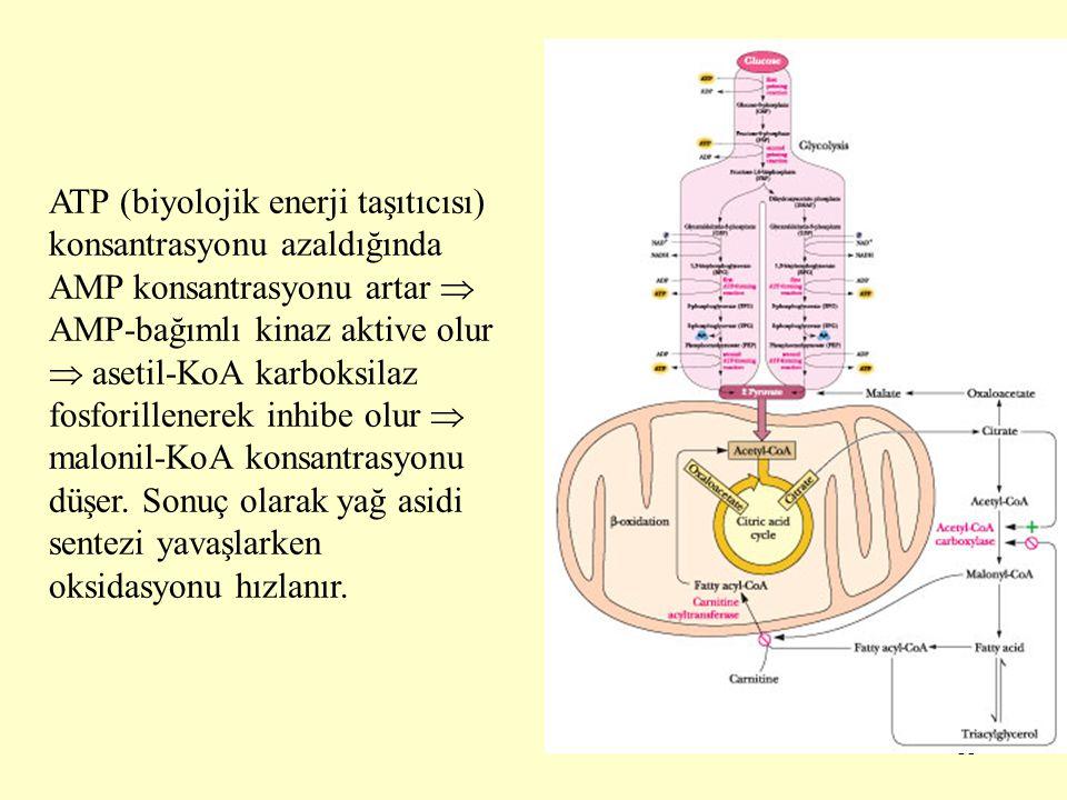ATP (biyolojik enerji taşıtıcısı) konsantrasyonu azaldığında AMP konsantrasyonu artar  AMP-bağımlı kinaz aktive olur  asetil-KoA karboksilaz fosforillenerek inhibe olur  malonil-KoA konsantrasyonu düşer.
