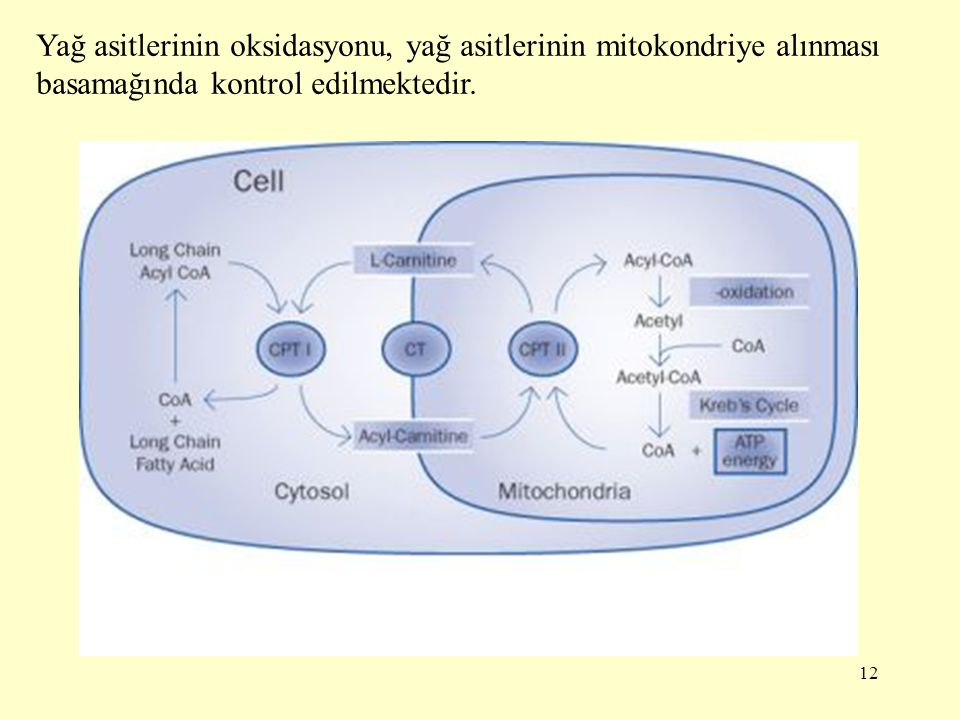 Yağ asitlerinin oksidasyonu, yağ asitlerinin mitokondriye alınması basamağında kontrol edilmektedir.