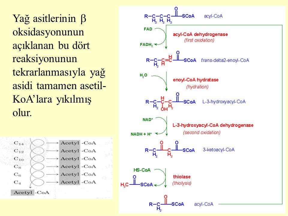 Yağ asitlerinin  oksidasyonunun açıklanan bu dört reaksiyonunun tekrarlanmasıyla yağ asidi tamamen asetil-KoA'lara yıkılmış olur.