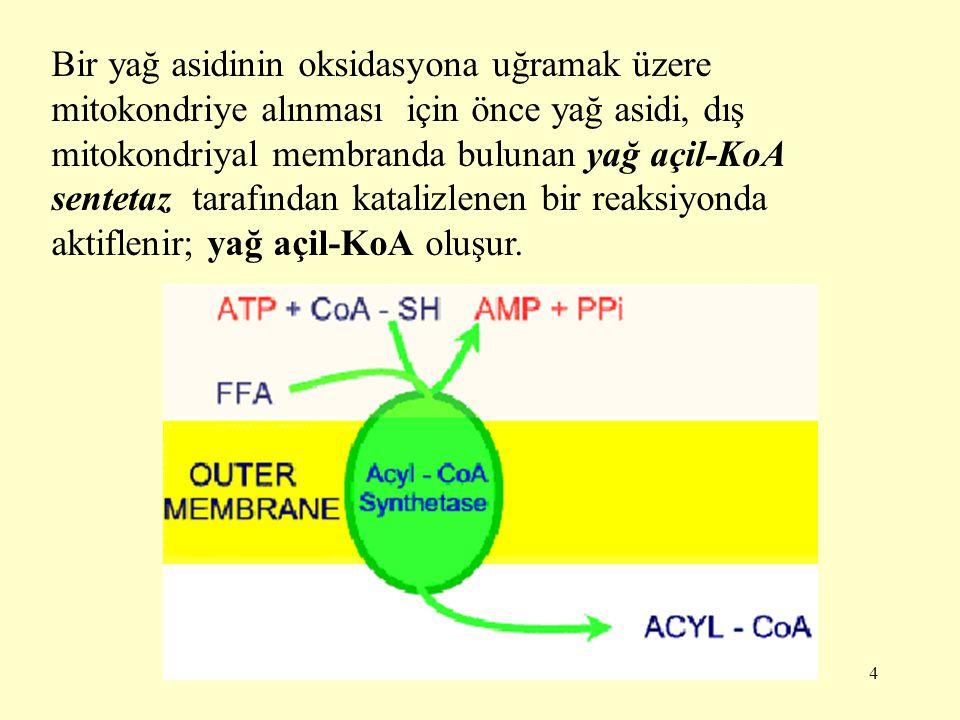 Bir yağ asidinin oksidasyona uğramak üzere mitokondriye alınması için önce yağ asidi, dış mitokondriyal membranda bulunan yağ açil-KoA sentetaz tarafından katalizlenen bir reaksiyonda aktiflenir; yağ açil-KoA oluşur.
