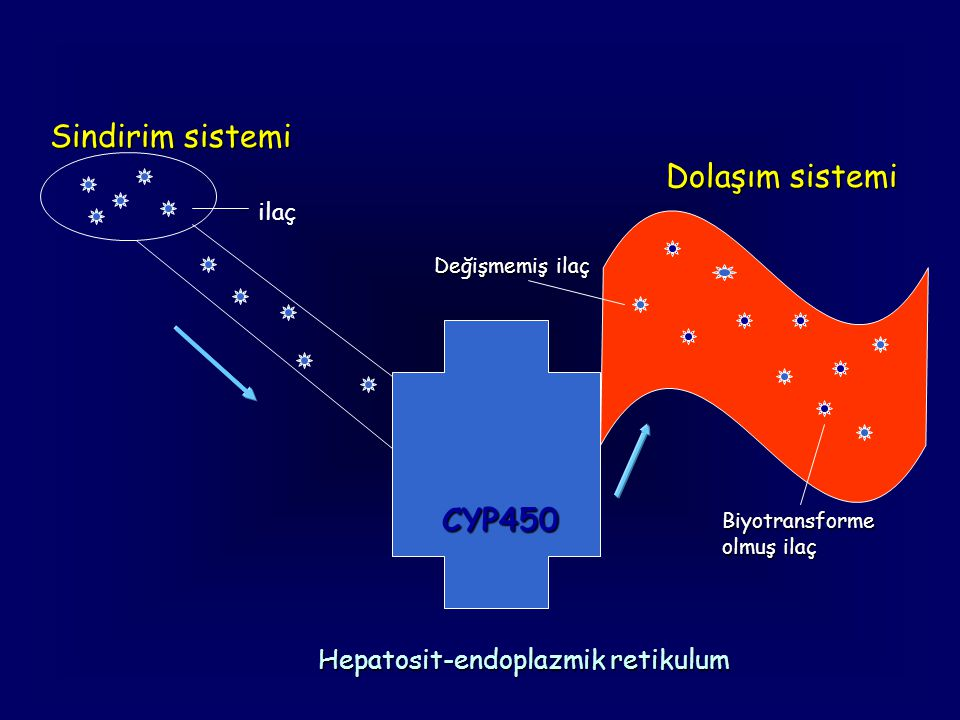 Hepatosit-endoplazmik retikulum