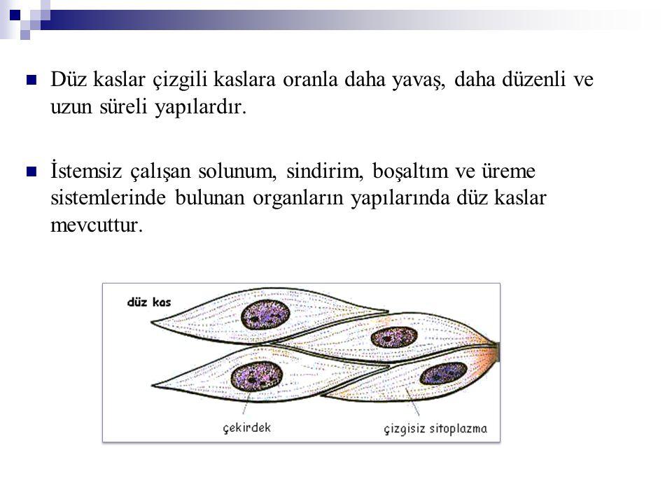 Düz kaslar çizgili kaslara oranla daha yavaş, daha düzenli ve uzun süreli yapılardır.