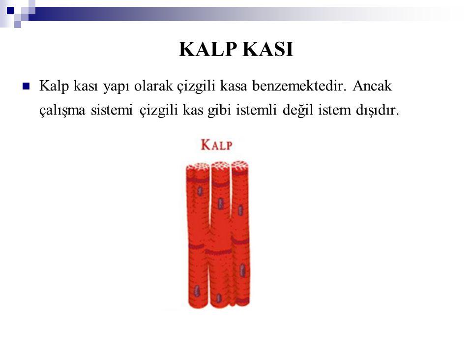 KALP KASI Kalp kası yapı olarak çizgili kasa benzemektedir.