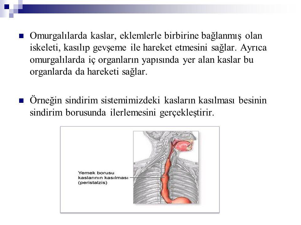 Omurgalılarda kaslar, eklemlerle birbirine bağlanmış olan iskeleti, kasılıp gevşeme ile hareket etmesini sağlar. Ayrıca omurgalılarda iç organların yapısında yer alan kaslar bu organlarda da hareketi sağlar.