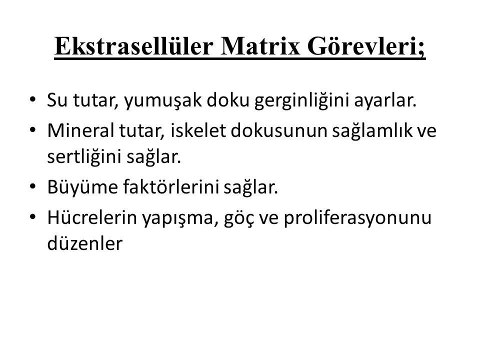 Ekstrasellüler Matrix Görevleri;