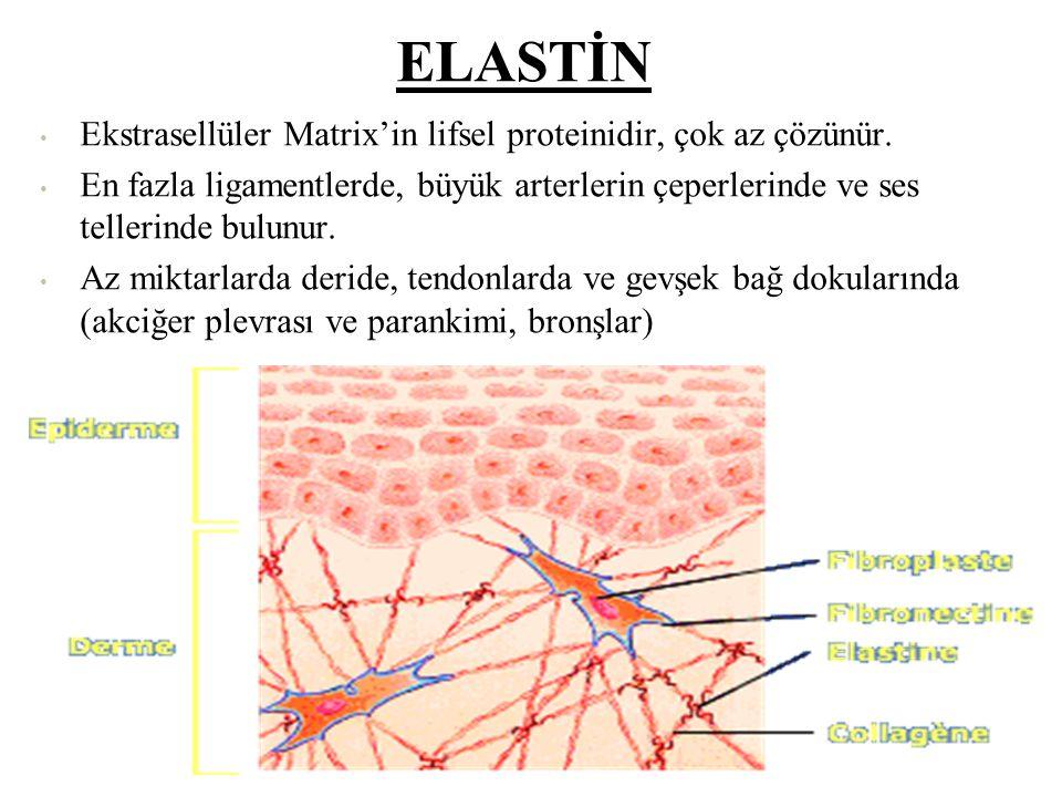 ELASTİN Ekstrasellüler Matrix'in lifsel proteinidir, çok az çözünür.