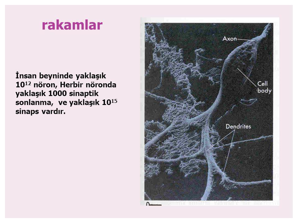 rakamlar İnsan beyninde yaklaşık 1012 nöron, Herbir nöronda yaklaşık 1000 sinaptik sonlanma, ve yaklaşık 1015 sinaps vardır.