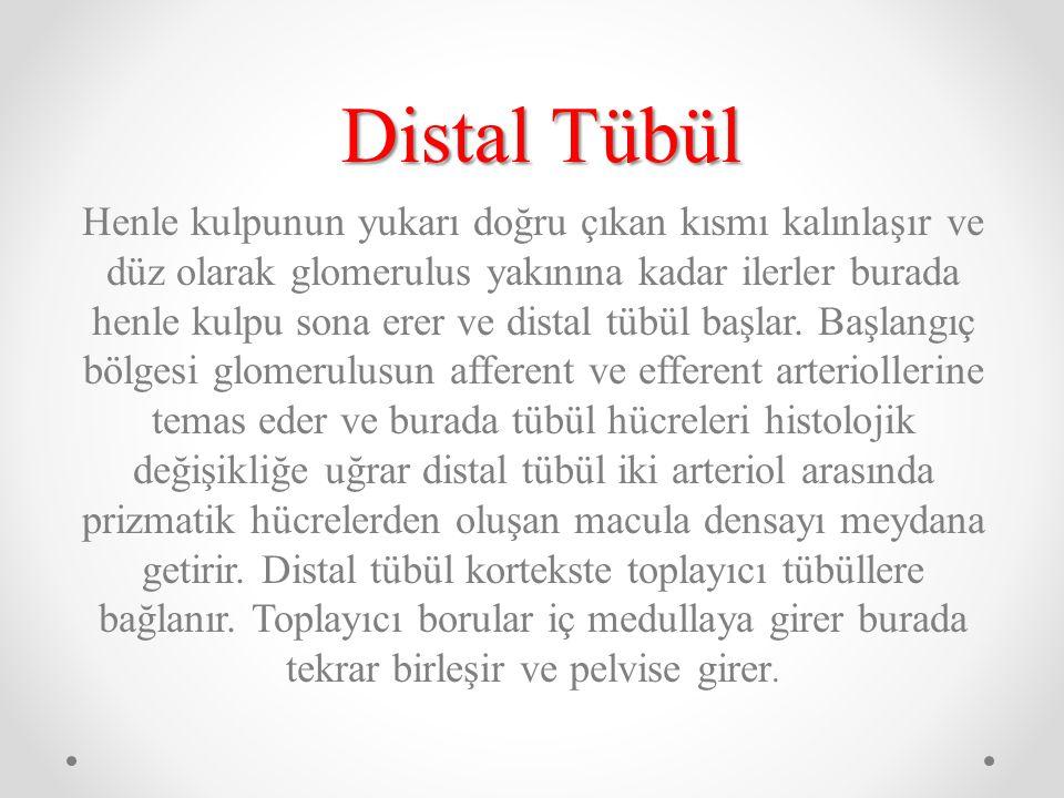 Distal Tübül