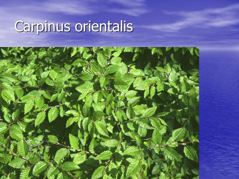 Carpinus orientalis Carpinus orientalis
