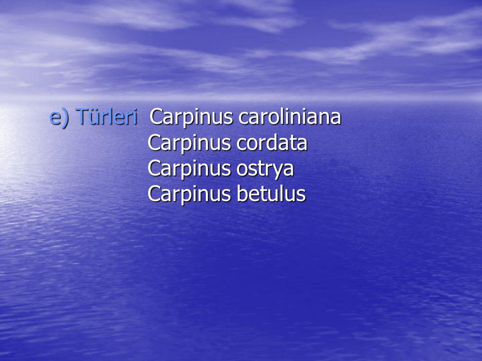 e) Türleri Carpinus caroliniana Carpinus cordata Carpinus ostrya Carpinus betulus