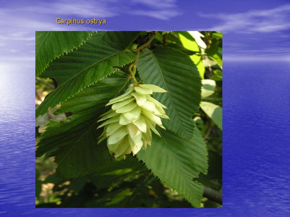 Carpinus ostrya