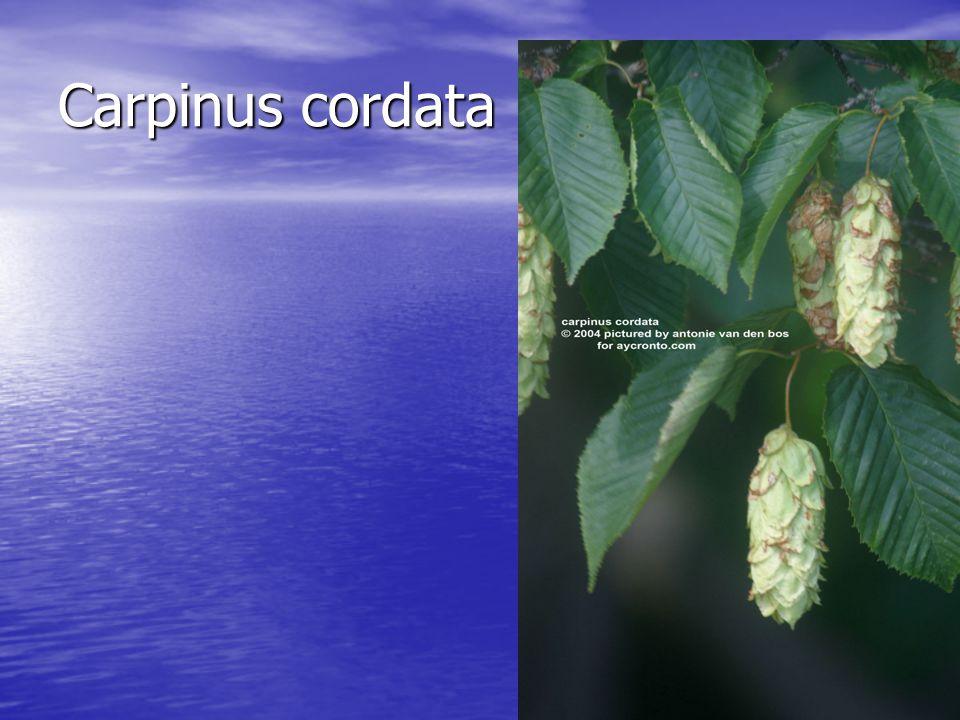 Carpinus cordata