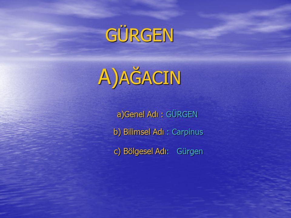 GÜRGEN AĞACIN a)Genel Adı : GÜRGEN b) Bilimsel Adı : Carpinus